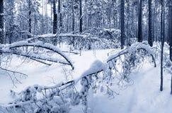 Floresta do inverno Fotografia de Stock