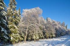 Floresta do inverno coberta com a neve imagens de stock royalty free