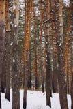 Floresta do inverno com muitos neve Imagens de Stock Royalty Free