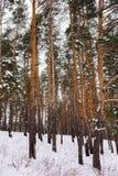 Floresta do inverno com muitos neve Fotografia de Stock Royalty Free