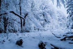 Floresta do inverno com neve Imagem de Stock