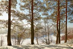 Floresta do inverno com ramos cobertos de neve das árvores beleza feericamente Fotos de Stock