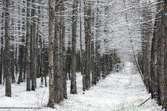 Floresta do inverno durante uma queda de neve Foto de Stock