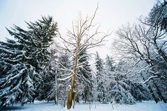 Floresta do inverno na neve imagens de stock