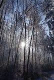 Floresta do inverno no backlighting Imagens de Stock