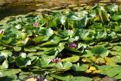 floresta do lago do lírio de água foto de stock royalty free