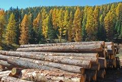 Floresta do larício Foto de Stock