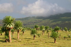 Floresta do Lobelia em Simien Mts Imagens de Stock