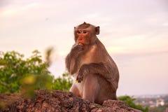 A floresta do macaco está sentando-se na rocha Imagens de Stock