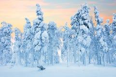 Floresta do norte após o blizzard, árvores congeladas e muita neve fotos de stock