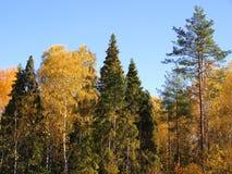 Floresta do outono Fotografia de Stock