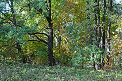 Floresta do outono com carvalhos Imagem de Stock