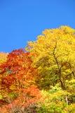 Floresta do outono de encontro ao céu azul Imagens de Stock