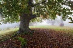 Floresta do outono em um dia nevoento Imagens de Stock Royalty Free