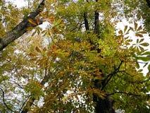 Floresta do outono - o amarelo sae contra o céu Fotografia de Stock Royalty Free