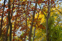 Floresta do outono, outono, folhas vermelhas, árvores amarelas, floresta Fotografia de Stock Royalty Free
