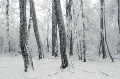 Floresta do país das maravilhas do inverno com neve Imagem de Stock