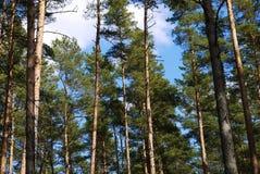 Floresta do pinheiro Foto de Stock Royalty Free