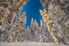 Floresta do pinheiro imagens de stock royalty free
