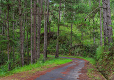 Floresta do pinheiro em Dalat, Vietname Imagens de Stock Royalty Free