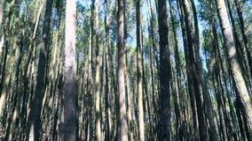 Floresta do pinho video estoque