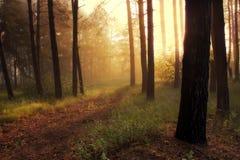 Floresta do pinho fotografia de stock