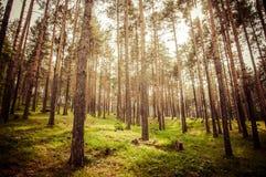 Floresta do pinho Fotos de Stock