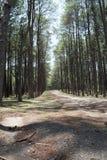 Floresta do pinho Fotografia de Stock Royalty Free