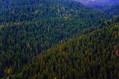 Floresta do pinho Imagem de Stock