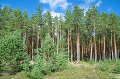 Floresta do pinho Foto de Stock