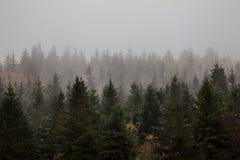 Floresta do pinho Imagem de Stock Royalty Free