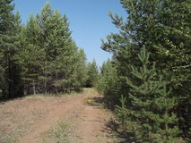 Floresta 26 do pinho imagem de stock royalty free