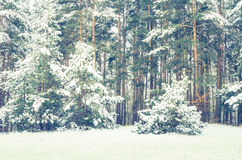 Floresta do pinho coberta com a neve Foto de Stock Royalty Free