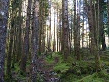 Floresta do pinho com cerca de fio Fotografia de Stock Royalty Free