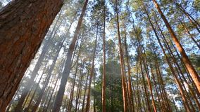 Floresta do pinho com luz solar video estoque