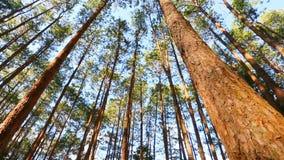 Floresta do pinho com luz solar filme