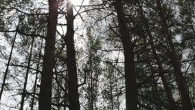 Floresta do pinho com luz solar vídeos de arquivo