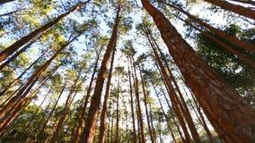 Floresta do pinho com luz solar e névoa video estoque