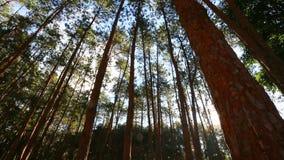 Floresta do pinho com luz solar e névoa vídeos de arquivo