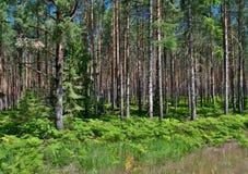 Floresta do pinho com samambaias Fotos de Stock
