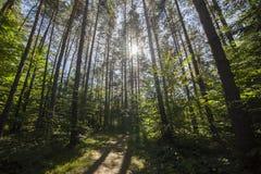 Floresta do pinho da paisagem do verão nos Carpathians Foto de Stock Royalty Free
