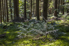 Floresta do pinho da paisagem do verão nos Carpathians Fotografia de Stock Royalty Free
