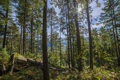 Floresta do pinho da paisagem do verão nos Carpathians Imagens de Stock Royalty Free