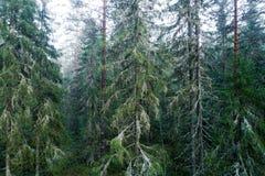 Floresta do pinho da floresta primária em Estônia fotografia de stock