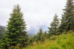 A floresta do pinho de montanha da névoa e da nuvem ajardina, Carpathian, Ucrânia Fotografia de Stock