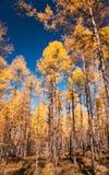 A floresta do pinho do outono Imagem de Stock Royalty Free