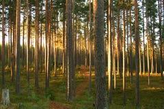 Floresta do pinho do pinho fotos de stock