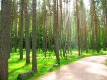 Floresta do pinho do verão com luz do sol Imagem de Stock