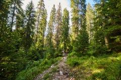 Floresta do pinho e fuga de caminhada nas montanhas Imagem de Stock Royalty Free