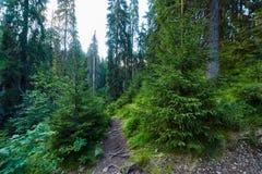 Floresta do pinho e fuga de caminhada nas montanhas Imagens de Stock
